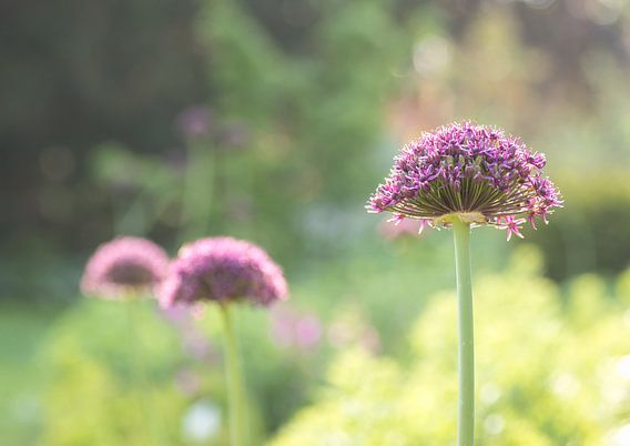 Gros plan sur les fleurs violettes
