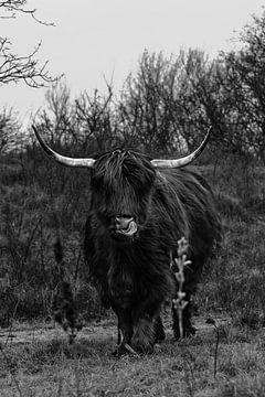 Schottischer Highlander von Dennis Jansen