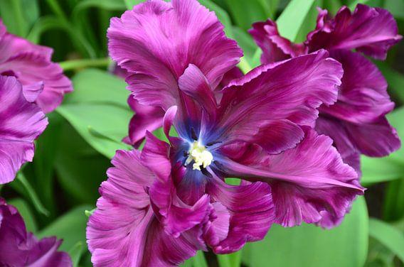 Donker Paarse Tulpen Explosie van Marcel van Duinen
