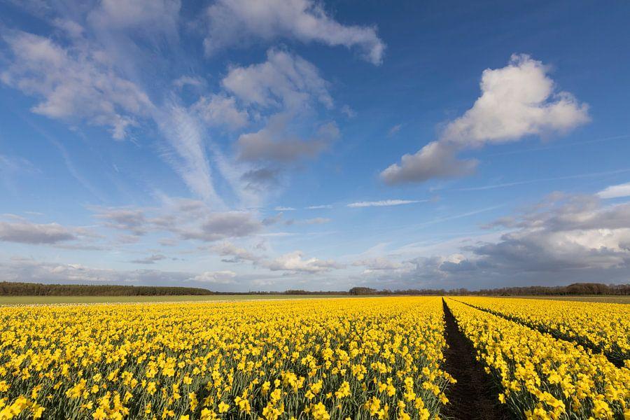 Bollenveld met gele narcissen van Karla Leeftink