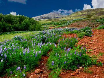 Blühende Lupinen in Island von