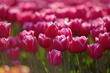 débuts et belles tulipes roses sur un champ à la campagne sur Nfocus Holland