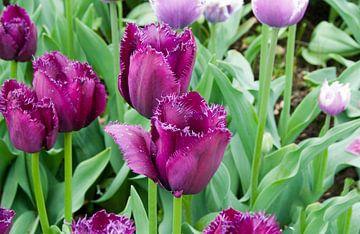 paarse tulpen von Compuinfoto .