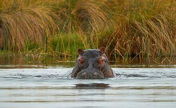 Kijk uit! Een nijlpaard komt eraan van Jolene van den Berg