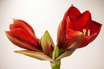 Amaryllis rouge sur Joachim Küster