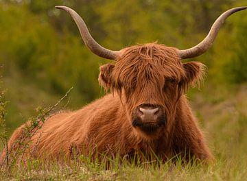 Stoere Schotse Hooglander liggend in het gras in kleur van Marjolein van Middelkoop