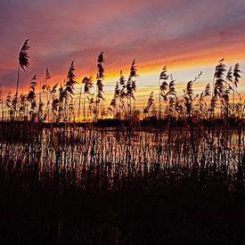 Roseau au bord des lacs de Bourgoyen au coucher du soleil sur Kristof Lauwers