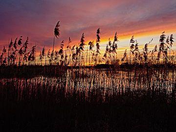 Riet langs het water in de Bourgoyen bij zonsondergang van Kristof Lauwers