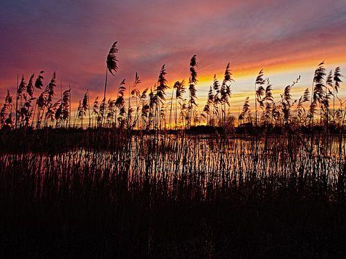 Riet langs het water in de Bourgoyen bij zonsondergang