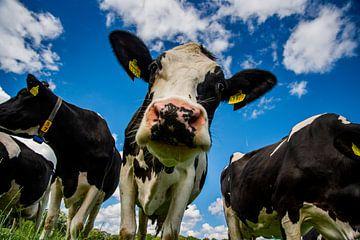 Kühe mit altholländischem Himmel von Niko Bloemendal