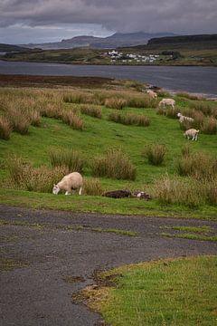 Schafe grasen auf einem Grasplateau auf der Insel Skye in Schottland von Anges van der Logt