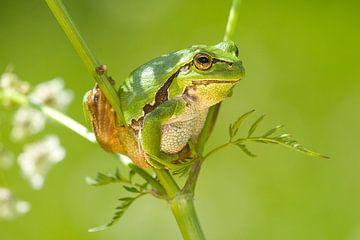 Baumfrosch klettert im Whistlebug. von Jeroen Stel