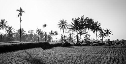 Zwart wit panorama van een rijstveld op Bali