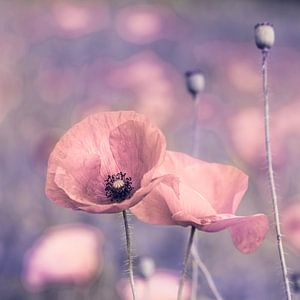 Poppies pastelldream