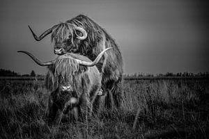 Koeien Schotse Hooglander langharige paren zwart/wit van