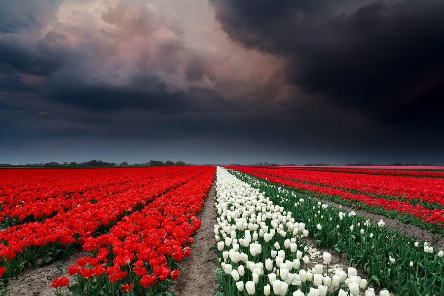 Storm and tulips van Olha Rohulya