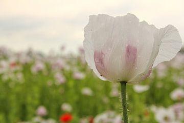 schöne weiße Mohnblume Nahaufnahme mit einem weichen grünen, blauen und rosa Hintergrund von Angelique Nijssen