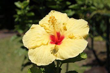 Hawaiianische Blume von Bas Berk