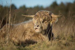 Schotse Hooglander von Above The Grid