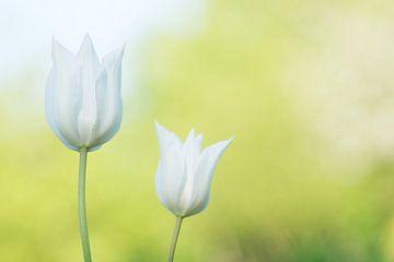 Witte tulpen von