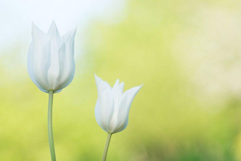 Witte tulpen van Cocky Anderson