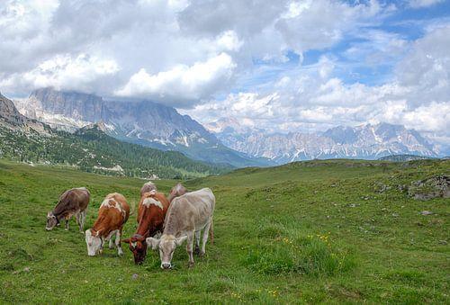 Koeien in de Dolomieten Italie