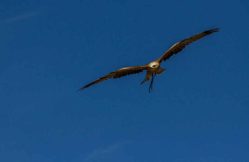 Red kite sur noeky1980 photography