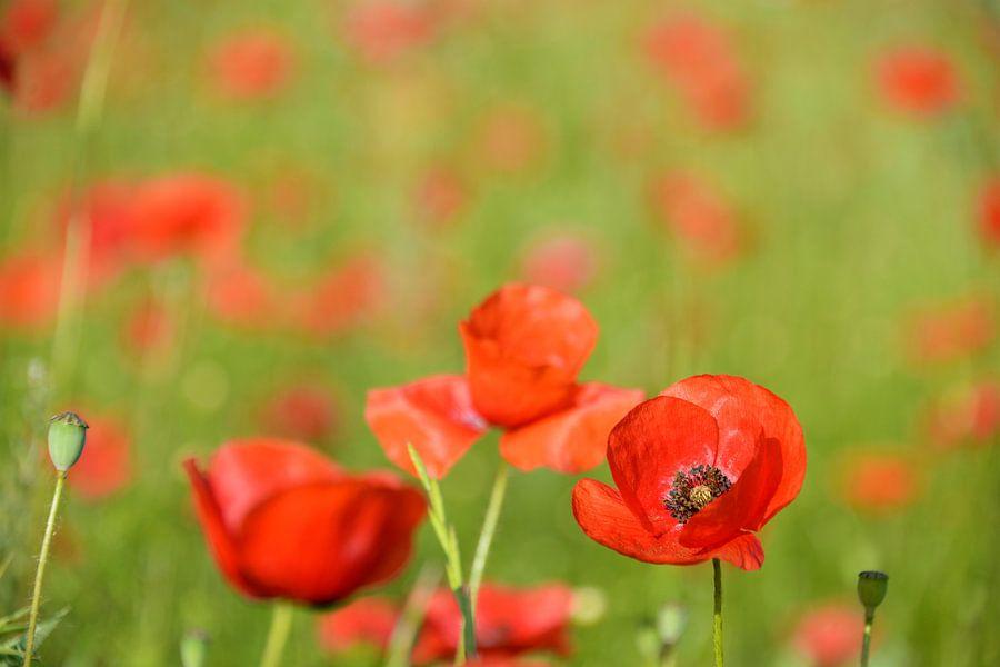 Rode klaprozen in een veld van iPics Photography