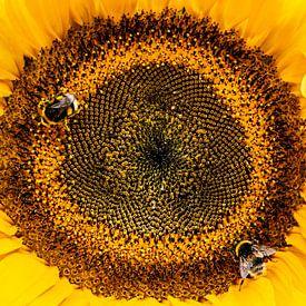 Bee - Hommels op zonnebloem van Stijn Cleynhens