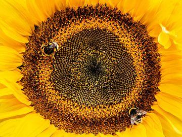 Bee - Hommels op zonnebloem