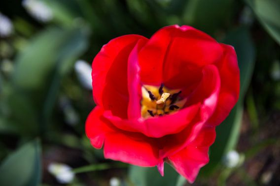 Red beautiness van Chris Snoek
