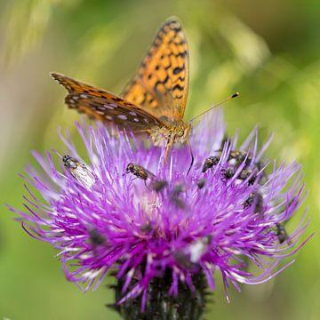 Vlinder op distelbloem sur Karin de Jonge