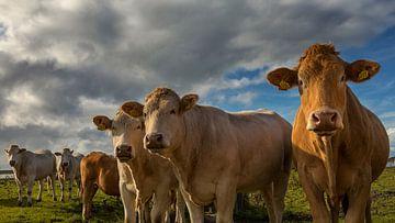 Nieuwsgierige koeien poseren in een rij voor de fotograaf