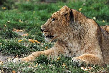 Aziatische of Perzische leeuw : Diergaarde Blijdorp van Loek Lobel