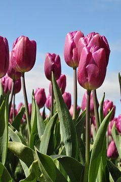 Paarse tulpen tegen blauw lucht van Adri Vollenhouw