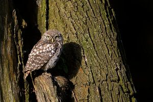 Little Owl  ( Athene noctua ), perched in an old willow tree, watching curious, first morning light,