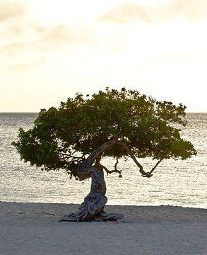 Divi Divi boom op Eagle beach, Aruba van Talitha Blok