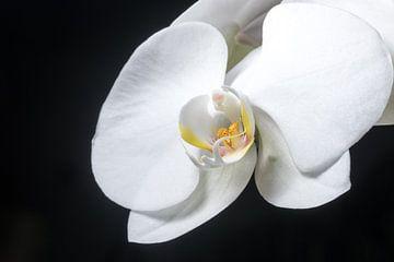 La beauté de l'orchidée. sur As Janson