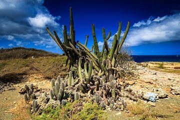 Prachtige cactussen op Curacao