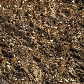 Jan-van-Genten op rotswand van het eiland Runde, Noorwegen van Margreet Frowijn