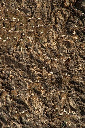 Jan-van-Genten op rotswand van het eiland Runde, Noorwegen van