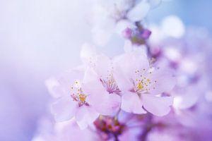 Kersenbloesem  van LHJB Photography