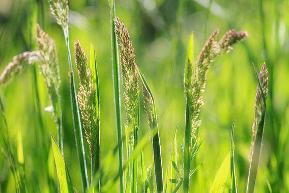 Grassen in de lente van Dennis van de Water