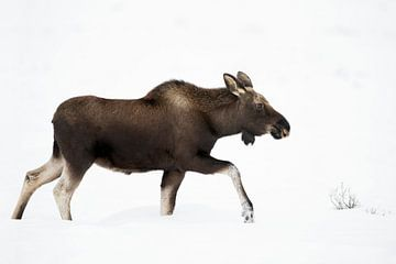 Moose ( Alces alces ) in winter, walking through deep snow van wunderbare Erde