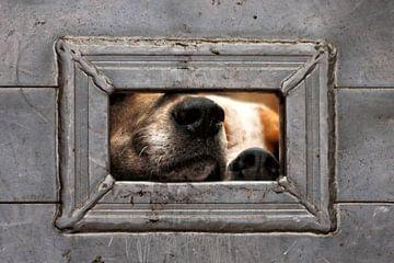 Foxhound neusjes 2 van Wybrich Warns