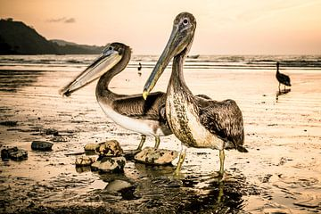 Pelikane bei Sonnenuntergang. von Ron van Gool