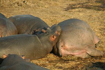 Hippo van Jaap van Marion