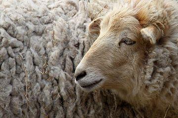 Schafe von Antwan Janssen