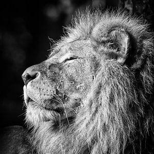 Tiere Löwen von Arno Van Hout