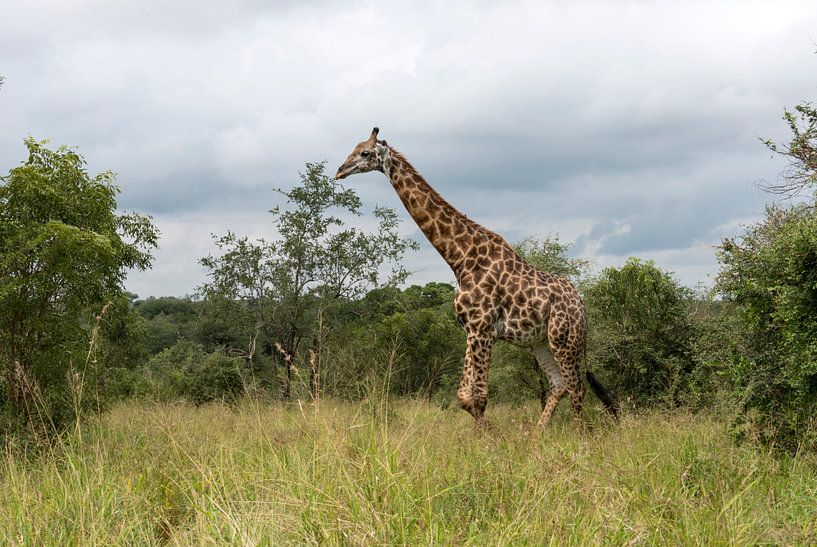 giraffe in south africa van Compuinfoto .